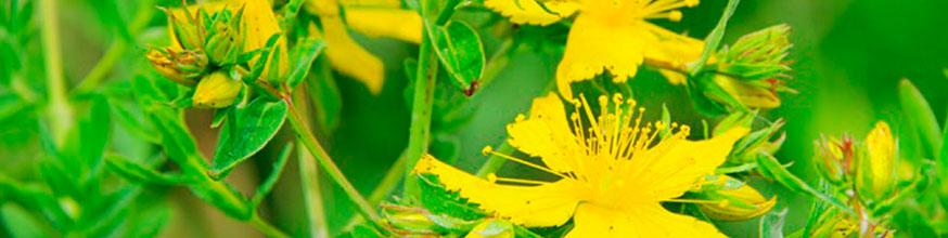 hierba-de-san-juan-sus-propiedades-y-para-qué-sirve