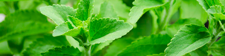 stevia-una-planta-muy-dulce-que-no-daña-la-salud